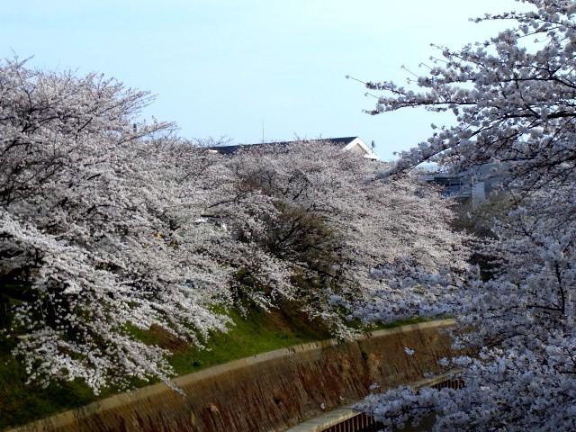 Sakurashounandai_002