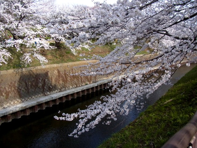 Sakurashounandai_004