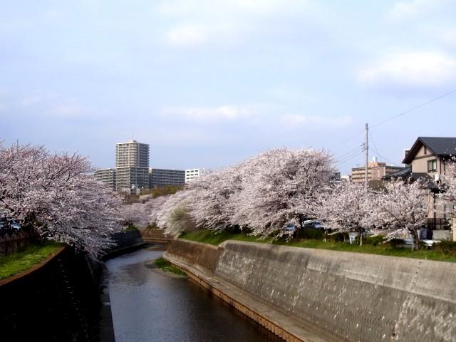 Sakurashounandai_015