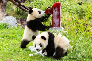 Csm_pandazwillinge_pit_und_paule_zoo_ber